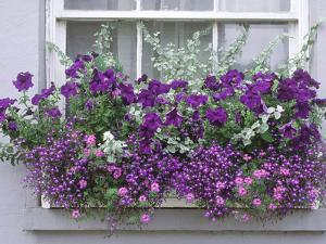 Window Box with Pelargoniums Argyranthemum, Lobelia by Lynne Brotchie