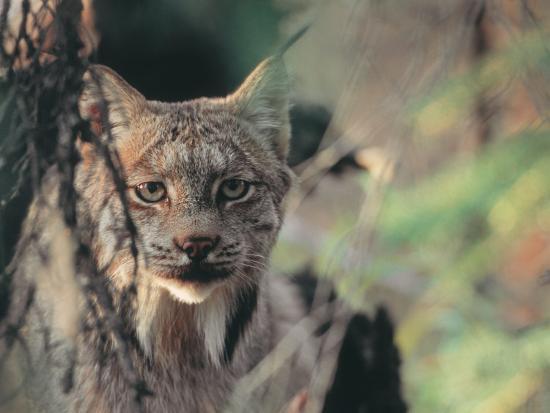 Lynx in Denali National Park, Alaska, USA-Dee Ann Pederson-Photographic Print