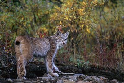 Lynx Near Toklat River in Alaska-Paul Souders-Photographic Print