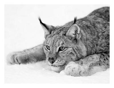 Lynx-PhotoINC Studio-Art Print