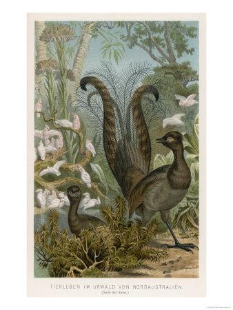 Lyre Bird--Giclee Print