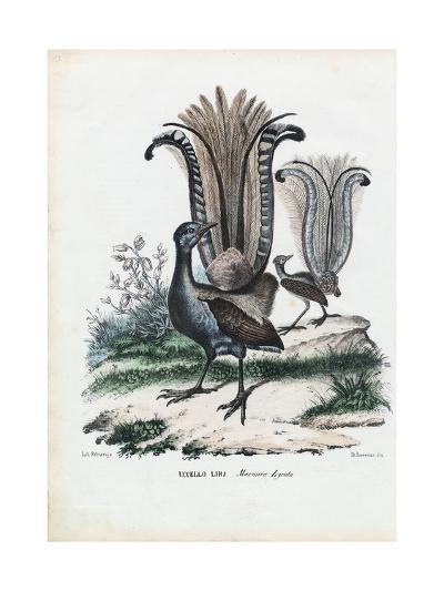 Lyrebird, 1863-79-Raimundo Petraroja-Giclee Print