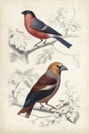 D'Orbigny Birds IV