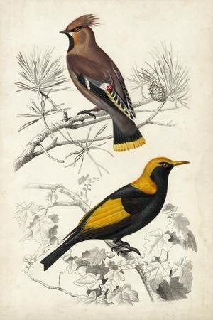 D'Orbigny Birds V