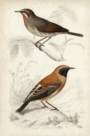 D'Orbigny Birds VI