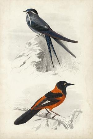 D'Orbigny Birds VII