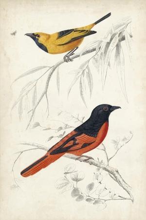 D'Orbigny Birds VIII