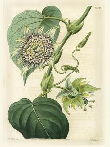 Antique Passionflower I by M. Hart