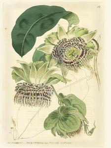 Antique Passionflower II by M. Hart