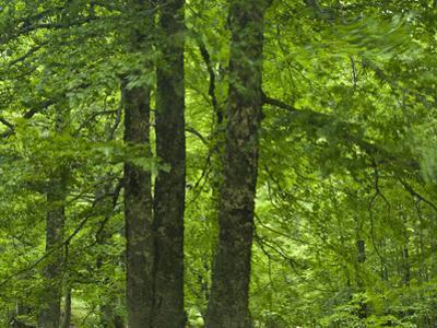 European Beech Trees (Fagus Sylvatica) Pollino National Park, Basilicata, Italy, June 2009 by M?ller