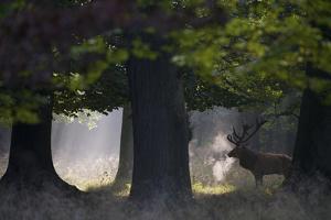 Red Deer (Cervus Elaphus) Stag under Trees, During Rut, Klampenborg Dyrehaven, Denmark, September by M?llers