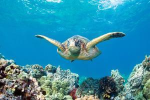 Sea Turtle Maui by M.M. Sweet
