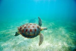 Green Sea Turtle by M Sweet