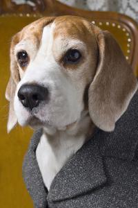 Beagle In Coat by maaram