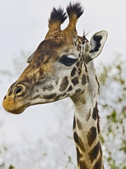 Maasai Giraffe Feeding, Maasai Mara, Kenya-Joe Restuccia III-Photographic Print