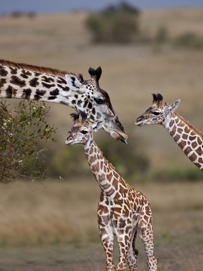 Maasai Giraffe, Masai Mara, Kenya-Joe Restuccia III-Photographic Print