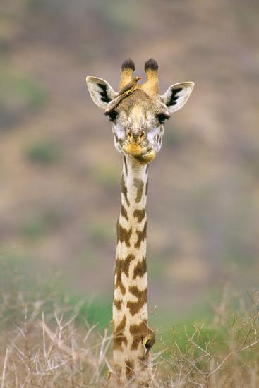 Maasai Giraffe Young with Bird on Head--Photographic Print