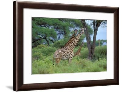 Maasai Giraffe--Framed Photographic Print