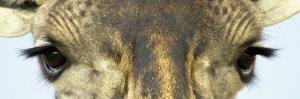 Maasai Giraffes Eyes