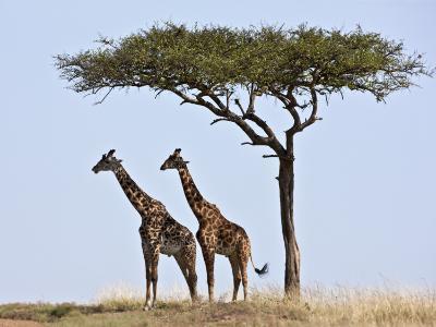 Maasai Giraffes Shade Themselves Beneath a Balanites Tree at the Masai Mara National Reserve-Nigel Pavitt-Photographic Print