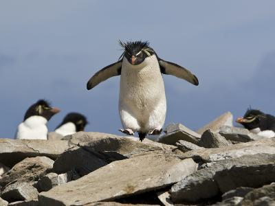 Macaroni Penguin, Eudyptes Chrysolophus, Hopping from Rock to Rock-Roy Toft-Photographic Print