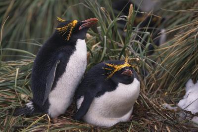 Macaroni Penguins Nesting in Grass-DLILLC-Photographic Print