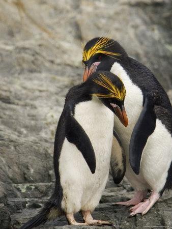 Macaroni Penguins Preening During Courtship-Ralph Lee Hopkins-Photographic Print