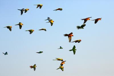 Macaw and Sun Conure Flock of Flying in the Sky.- jeep2499-Photographic Print