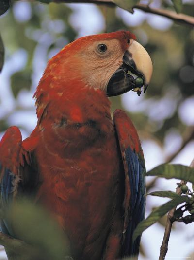 Macaw Parrot, Peru--Photographic Print