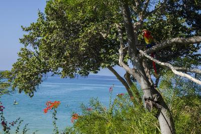 Macaw Perching on the Branch of a Tree with Idyllic Ocean in Background, Hawaii-Peter Mcbride-Photographic Print