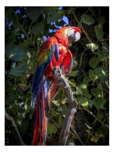 Macaw-Michael Polk-Art Print
