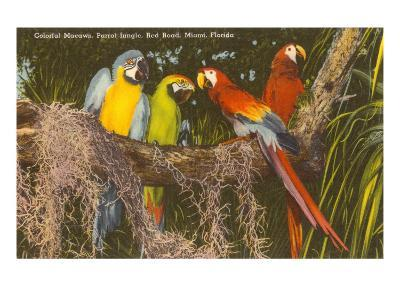 Macaws, Miami, Florida--Art Print