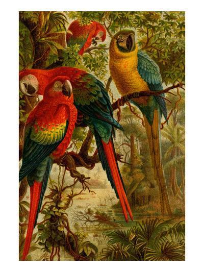 Macaws-F^W^ Kuhnert-Art Print