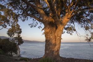 A Eucalyptus Tree Overlooking the Santa Barbara Channel by Macduff Everton