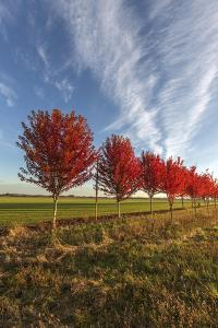 A Line of Maple Trees Ablaze in Fall Colors by Macduff Everton
