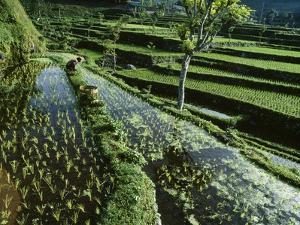 A Rice Field in Tirtagangga by Macduff Everton