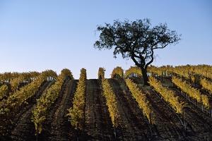 A Vineyard in Santa Barbara County by Macduff Everton