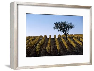 A Vineyard in Santa Barbara County
