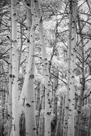 An Aspen Grove Above Bishop