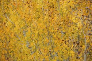 Fall Colors in an Aspen Grove Above Bishop by Macduff Everton