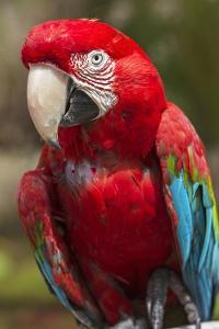 Portrait of a Green Winged Macaw by Macduff Everton
