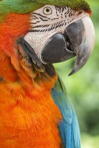 Portrait of a Harlequin Macaw by Macduff Everton