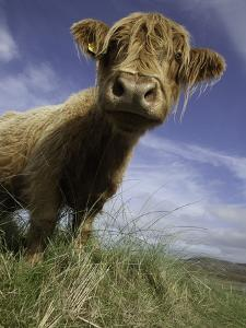 Shaggy haired highland cow by Macduff Everton