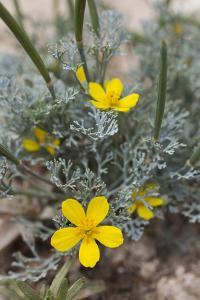 The Island Poppy, Eschscholzia Ramosa, Recently Discovered on Anacapa Island by Macduff Everton