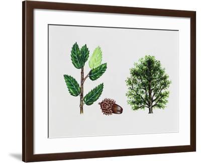 Macedonian Oak (Quercus Trojana), Fagaceae, Tree, Leaves and Fruit--Framed Giclee Print