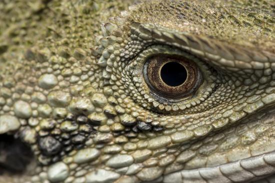 Macro eye and head of an Eastern water dragon, Intellagama lesueurii.-Doug Gimesy-Photographic Print