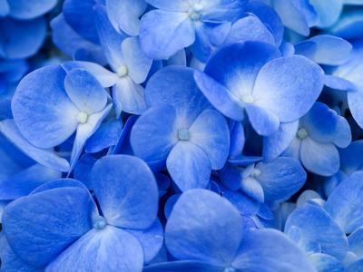 https://imgc.artprintimages.com/img/print/macro-image-of-blue-hydrangea-flower_u-l-q1a2rc50.jpg?p=0
