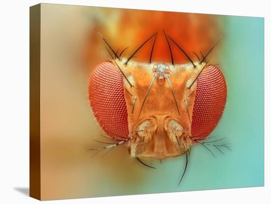 Macro, Insect, Spider, Bee, Stacking, Stack, Fly, Micro- vasekk-Stretched Canvas Print