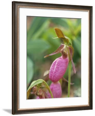Macro of a Pink Lady's Slipper Orchid, Usa-Tim Fitzharris-Framed Photographic Print