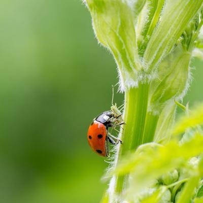 Macro of Ladybug (Adalia Bipunctata) Eating Aphids-Jolanda Aalbers-Photographic Print
